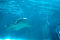 Shark Incoming