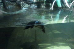 Platypus in action